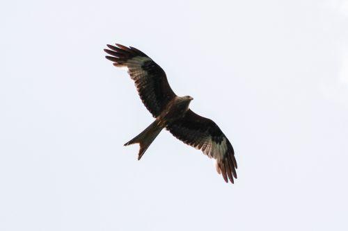 white tailed eagle müritz mecklenburgische seenplatte