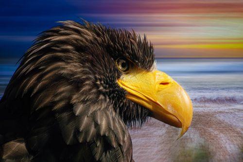white tailed eagle bird of prey raptor
