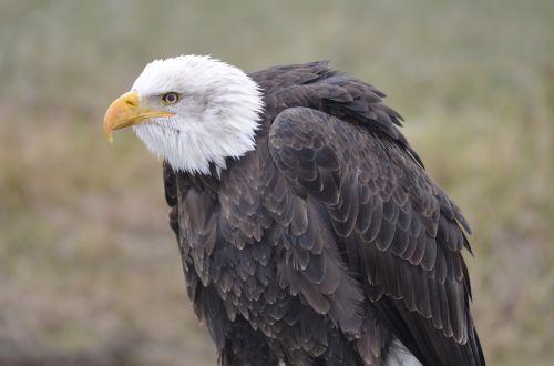 white tailed eagle adler raptor