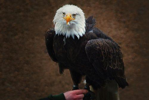 white tailed eagle falconry raptor