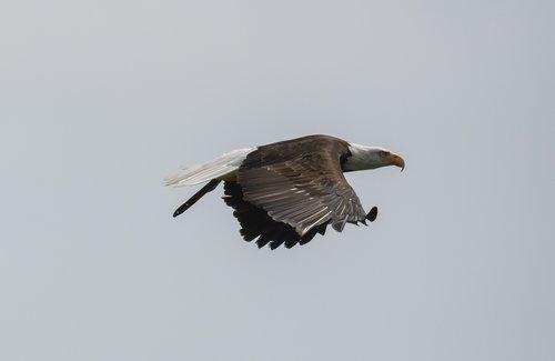 white tailed eagle  adler  bird of prey