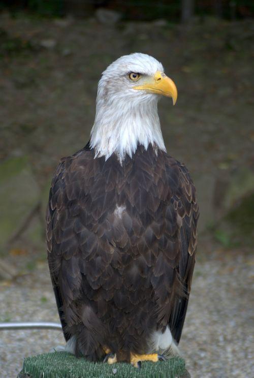 white-tailed eagle eagle bird