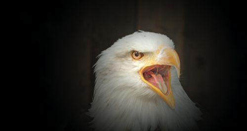 white tailed eagle bald eagle cry
