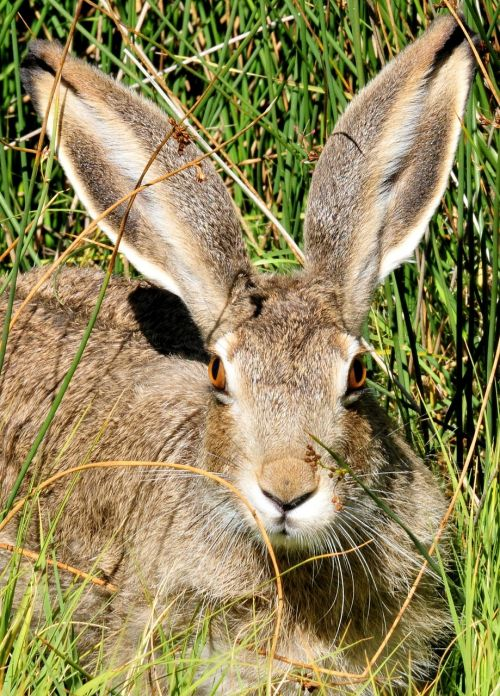 white tailed jackrabbit bunny cute