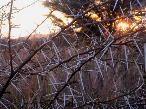 White Thorns At Dawn