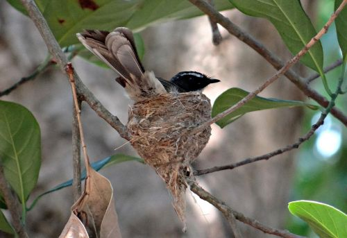 white-throated fantail flycatcher nest incubating