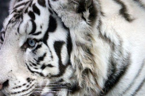 white tiger bengal tiger indian tiger