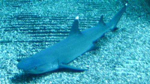 White Tip Shark