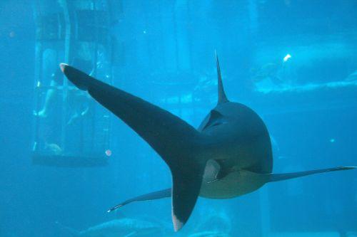 White Tipped Shark At Ushaka