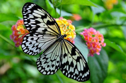 white tree nymph butterfly idea leuconoe