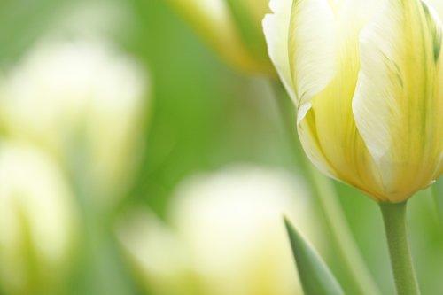 white tumor  tulip  spring