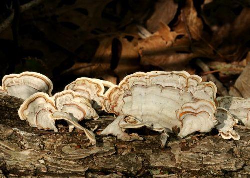 White Turkey Tail Bracket Fungus