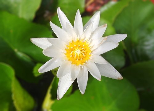 white water lilies  water lilies  kite