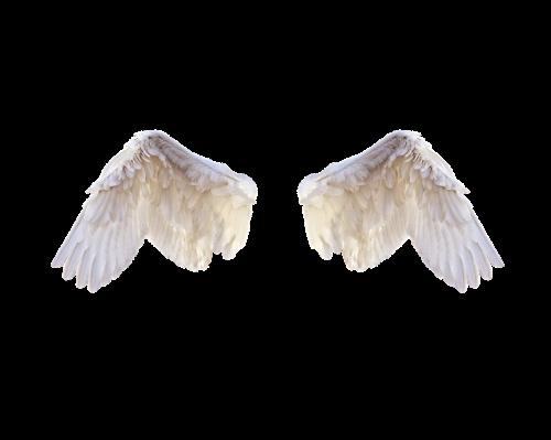 white wings wings bird