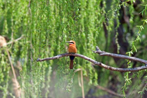 Whitefronted Bee-eater On Twig