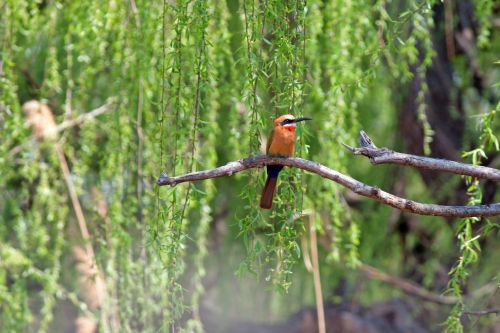 Whitefronted Bee-eater