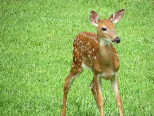 whitetail fawn deer