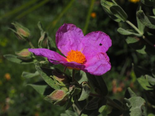 whitish rock rose flower blossom