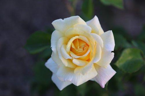 whitish rose  flower  plant