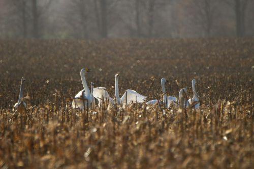 whooper gulbis,paukštis,gulbė,ariamasis,laukas,migruojanti paukštis,gulbės,vandens paukštis,paukščiai
