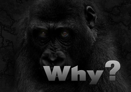 why question gorilla