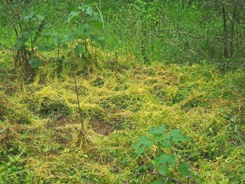 Widespread Cuscuta Parasite Plant