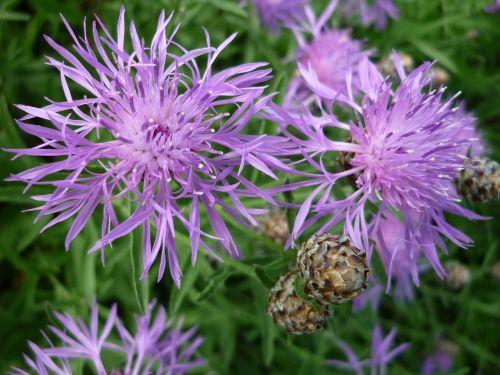 widow flower purple