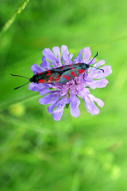 widow flower six stain burnet butterfly