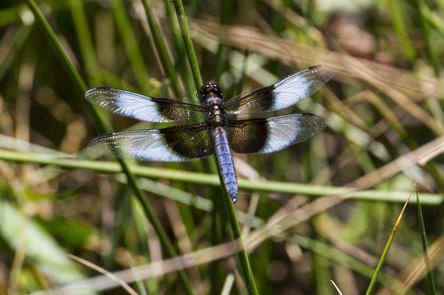 widow skimmer skimmers dragonfly
