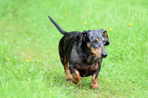wiener dog dachshund dog