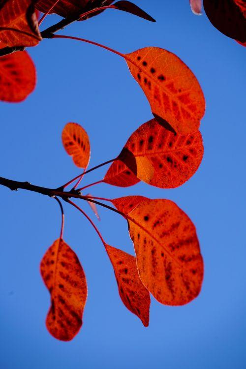 perukinis šepetys,lapai,kritimo lapija,raudona,modelis,cotinus,coggygria,rudens lapas,lapai,šviesus,herbstimpressija,ruduo,įspūdis,rudens spalvos,taškai,pastebėtas,krūmas,Cotinus coggygria,giraitė,dekoratyvinis,sodo augalas,dekoratyvinis augalas,botanika,gamta,flora,augalas,dekoratyvinis krūmas,sodo giraitė,reguliarus perukos šepetys,paragauti medis,fisettholz,Dyer Sumac,schmack,venetian sumac,vengrų smakras,tyrolo želė,žalsva žalia,Anacardiaceae,vasaros žalia kirpykla
