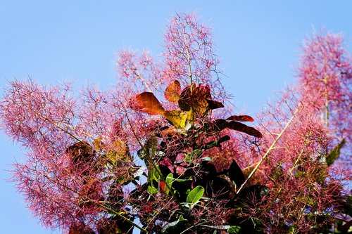 wig brush  cotinus coggygria  dyer sumac