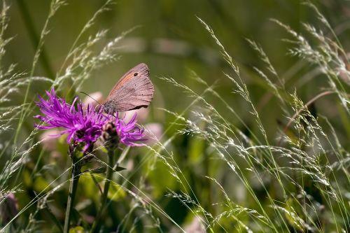 wigs knapweed butterfly meadow brown