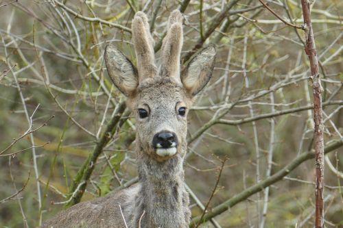 forest animals wild roe deer