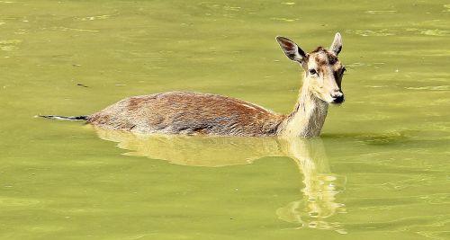 wild roe deer fallow deer