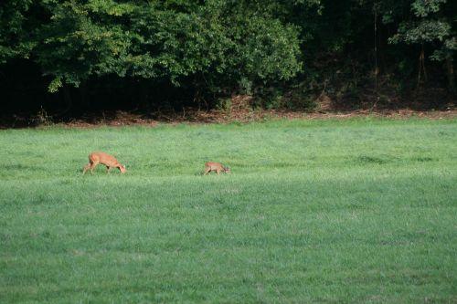 wild meadow roe deer