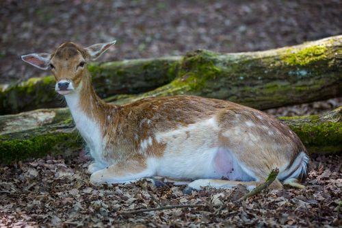 wild roe deer dybowskiwild