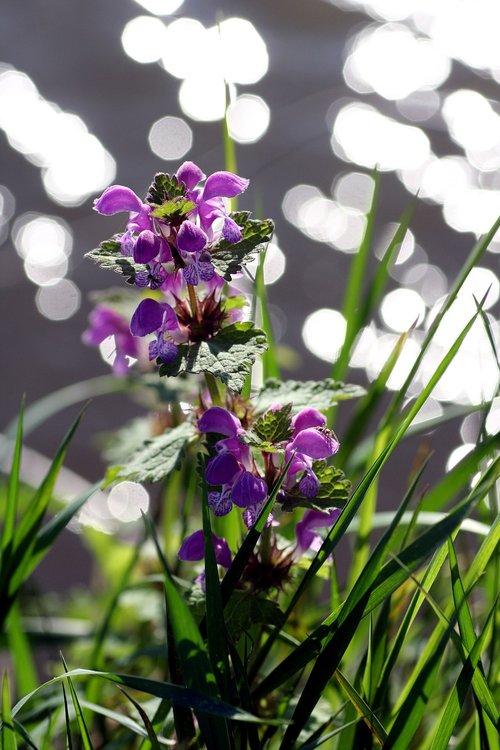 wild  flower  plant