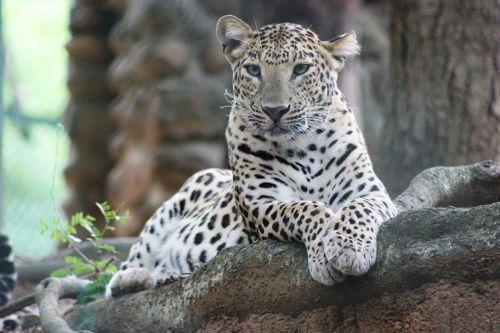 wild wildlife leopard