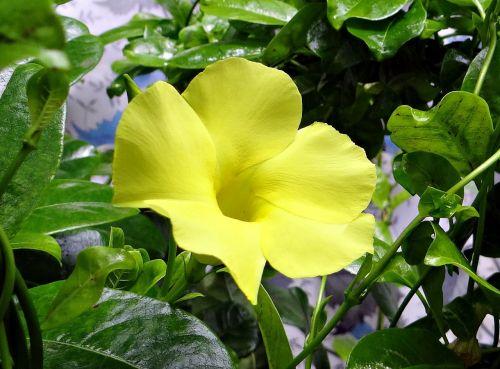 wild allamanda yellow mandevilla yellow dipladenia