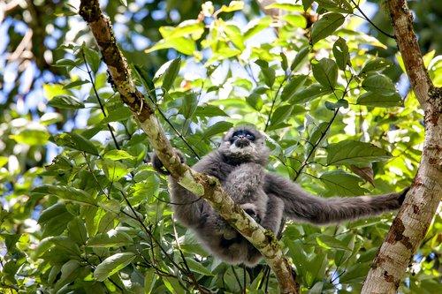 wild animals  javan gibbon  monkey