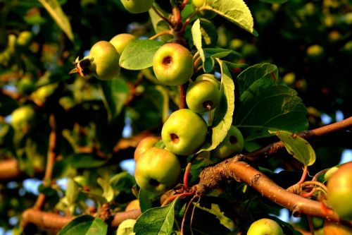 wild apple wild growth fruits