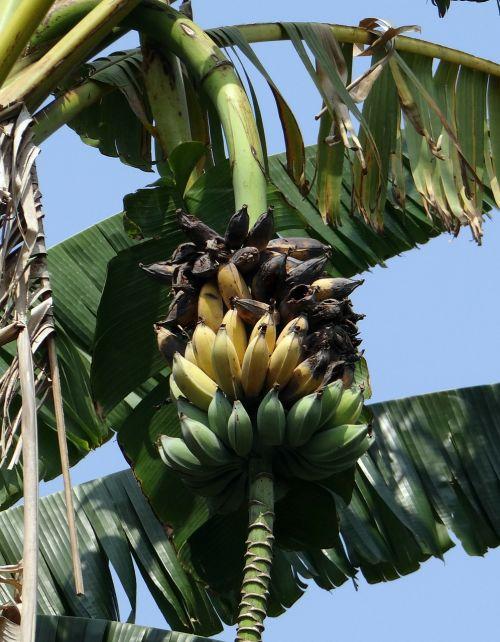 wild banana musa acuminata ripe
