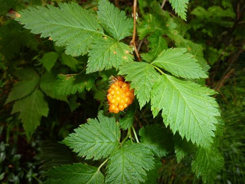 wild berry berry yellow