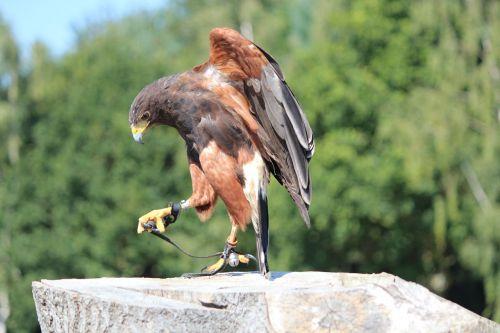 wild bird raptor animal world