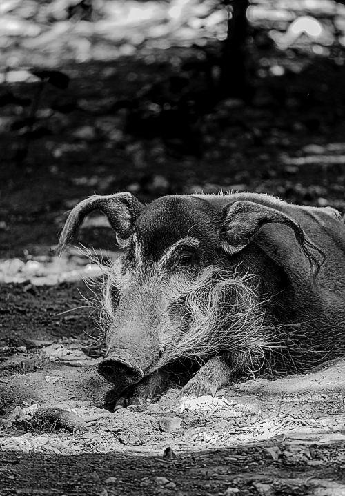 wild boar animals boar