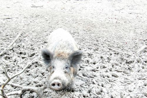 wild boar quagmire look