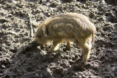 wild boar launchy boar