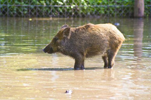 wild boar water sanzgiri