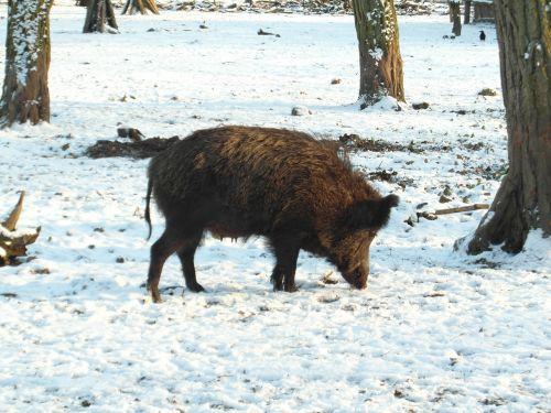 wild boar boar winter